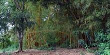 Bosque de bambú, Ecuador
