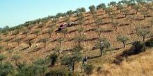 Olivos en sierra de Gata, Cáceres