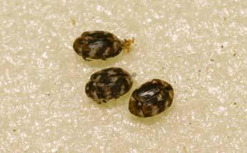 Escarabajo de los museos (Anthrenus verbasci)