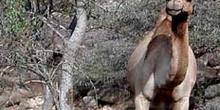 Dromedario junto a árbol, Rep. de Djibouti, áfrica