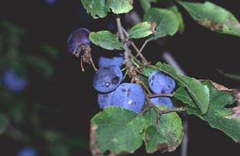 Endrino (Prunus spinosa)