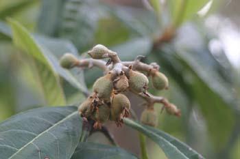 Níspero de Japón (Eriobotrya japonica)