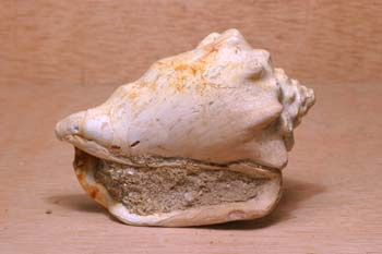 Caracola (Molusco-Gasterópodo) Eoceno