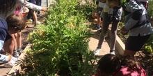 2019_06_11_4º observa insectos en el huerto_CEIP FDLR_Las Rozas 44