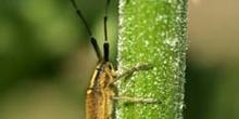 Longicornio de los cardos (Agapnathia asphodeli)