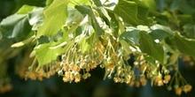 Tilo común - Fruto (Tilia platyphyllos)