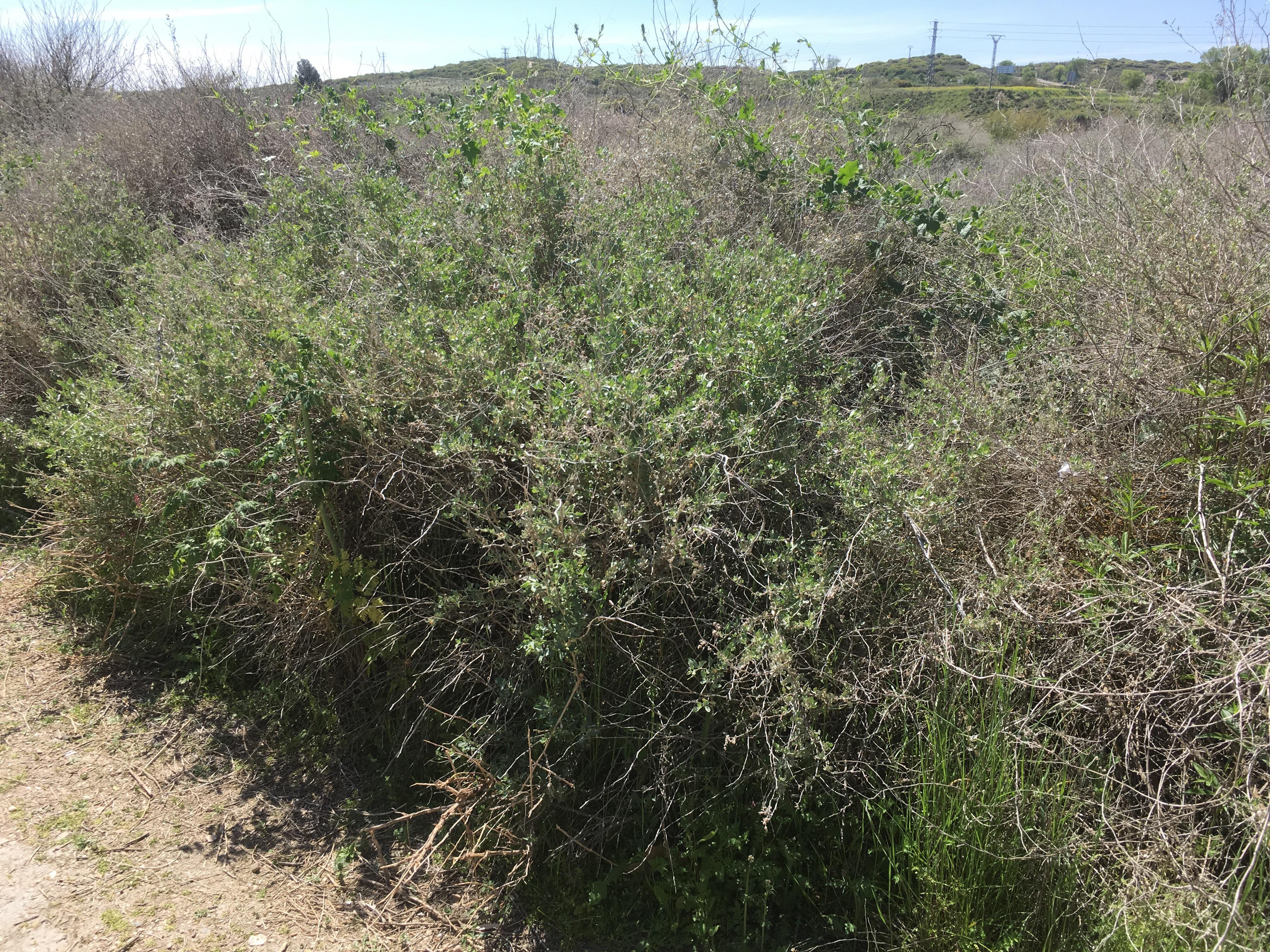 Brassica nigra_2