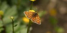 Doncella común (Mellicta athalia)