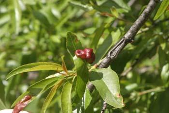 Agalla (Pontania proxima)
