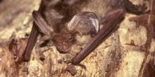 Murciélago orejudo (Plecotus auritus)