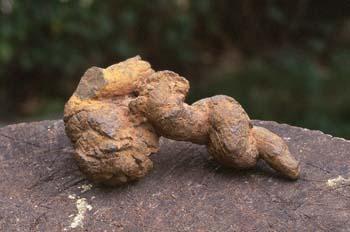 Excremento fósil de carnívoro (Coprolito) Oligoceno