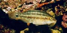 Labrido (Symphodus melops)