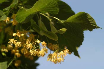 Tilo común - Flores (Tilia platyphyllos)