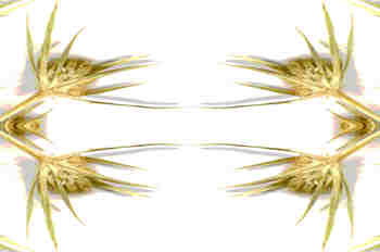 Simetría de la inflorescencia
