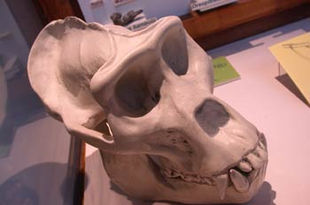 Cráneo (gorila actual)