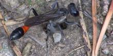 Avispa de la arena de banda roja Ammophila sabulosa (Linnaeus, 1758)