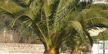 Palmera canaria - Porte (Phoenix canariensis)