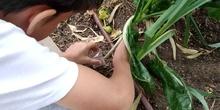 2019_06_07_Los alumnos de Quinto observan los insectos del huerto_CEIP FDLR_Las Rozas 14