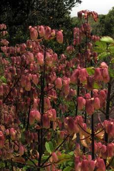 Hoja del aire, Bryophyllum Pinnatum, Ecuador