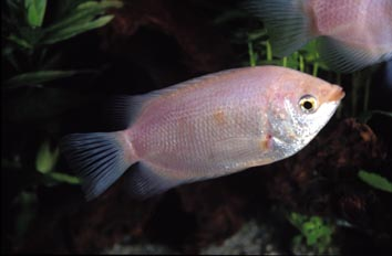 Besucon (Helostona sp.)