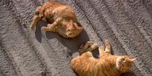 Gato doméstico (Felix catus)