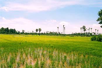 Campos de arroz en Camboya