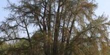 Ahuehuete o Ciprés calvo - Porte (Taxodium mucronatum)