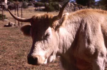 Vaca doméstica (Bos taurus)