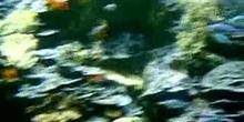 Pez payaso de Clark (Amphiprion clarkii)