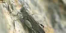 Saltamontes de alas azules (Sphingonotus caerulans)
