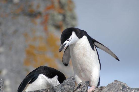 Pingüino barbijo. El pingüino de MAX 4.0