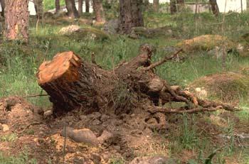 Pino resinero - Agresión (Pinus pinea)