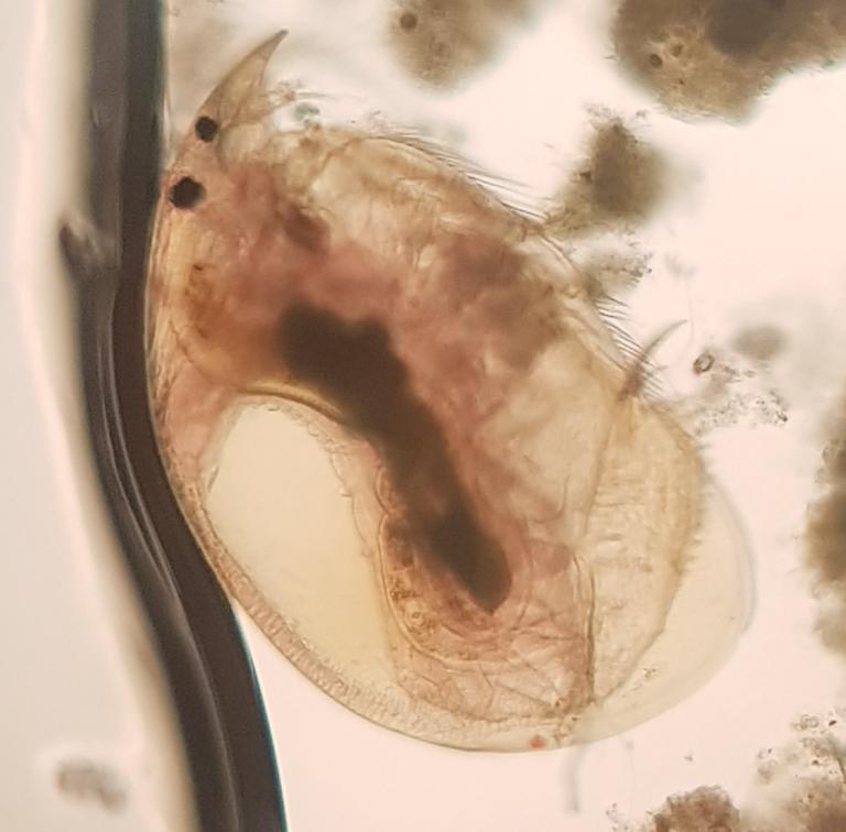 Pulga de agua (Daphnia pulex)