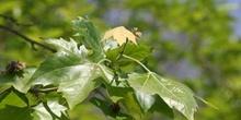 Plátano - Hojas (Platanus orientalis)