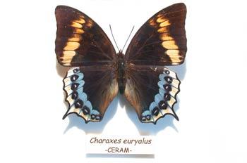 Charaxes euryalus (Indonesia)