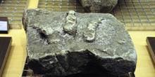 Icnita de dinosaurio terópodo, Museo del Jurásico de Asturias, C