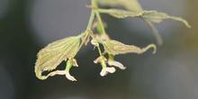 Almez - Flores (Celtis australis)