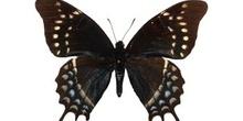 Papilio cleotas (Sudamérica)