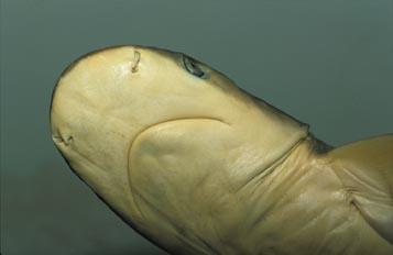 Tiburón gris (Carcharinus plumbeus)