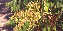 árbol del cielo - Fruto (Ailanthus altissima)