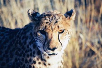 Cara de Guepardo, Namibia