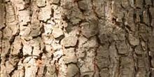 Falso abeto rojo - Tronco (Picea abies)