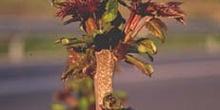 árbol del cielo - Renuevos (Ailanthus altissima)
