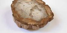 Xilópalo (Tronco de árbol) Cretácico