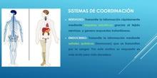 Función de relación: sistema nervioso humano