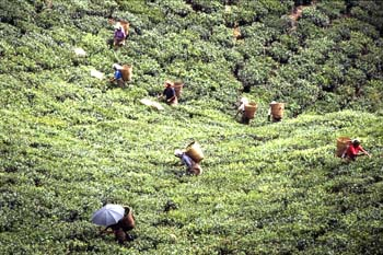 Recogida de la hoja en una plantación de té, Dajeerling, India