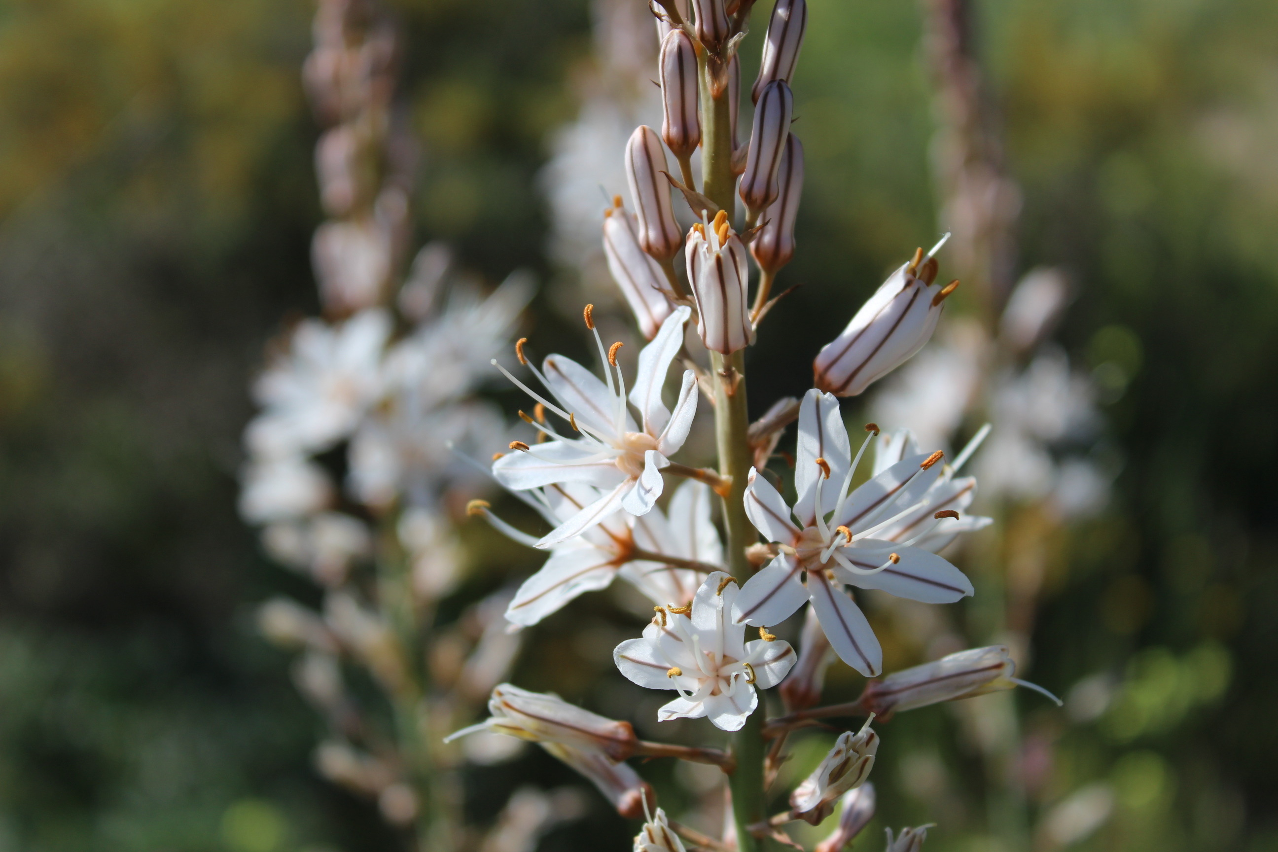 Artemisia herba-alba