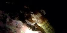 Holoturia pegajosa (Euapta lappa)