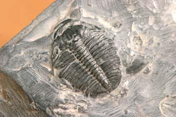 Elrathia kingii (Trilobites) Cámbrico