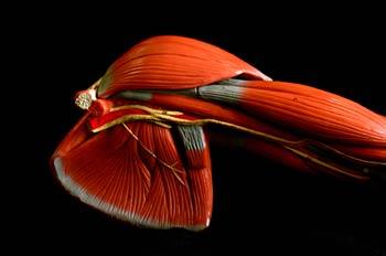 Músculos del  omóplato